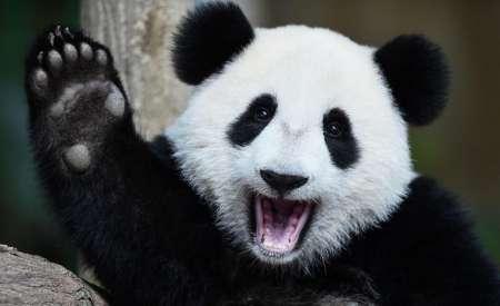 Китайская панда устроила игры в снегу и умилила пользователей Сети. ВИДЕО