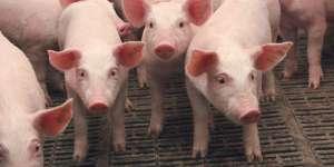 Через АЧС на Тернопільщині знищили ферму свиней