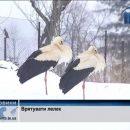 Тернополяни масово рятують лелек (відео)