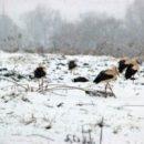 Тернополян просять рятувати лелек від холоду й голоду