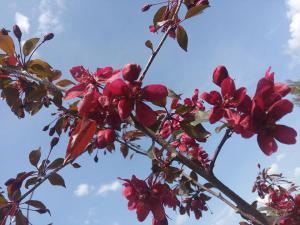Не Ужгородом єдиним: у Тернополі зацвіли райські яблуні (ФОТО)