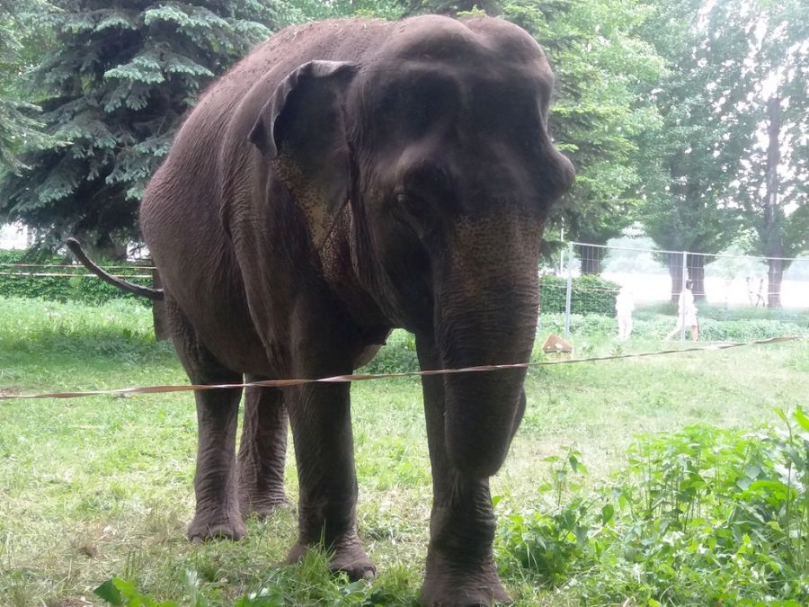 У Тернополі на траві пасеться величезна 5-тонна слониха (ФОТО, ВІДЕО)