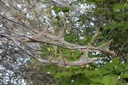 Нашествие гусениц в Санкт-Петербурге началось из-за теплой весны