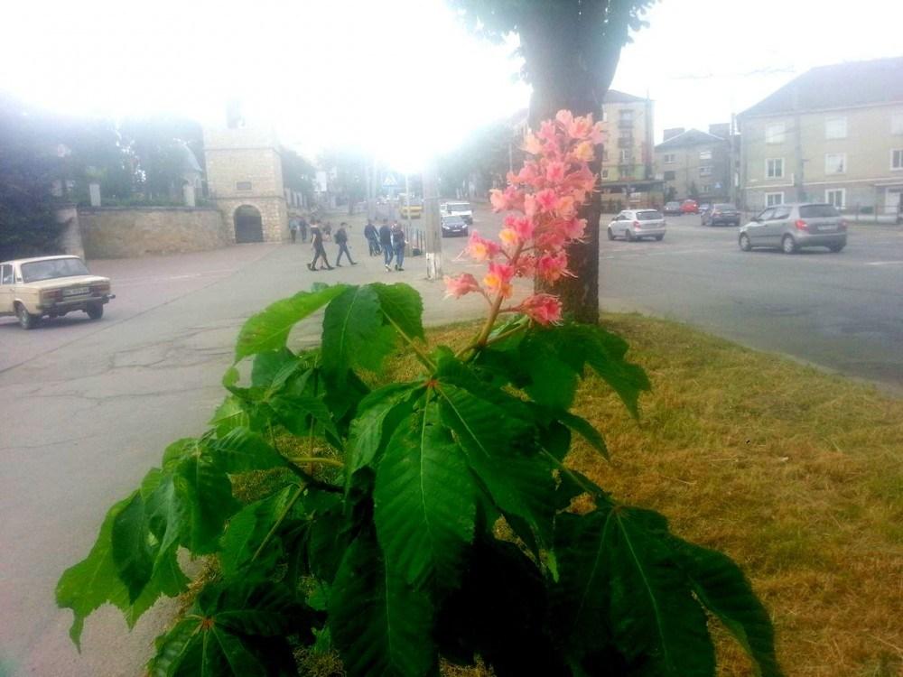 Чому у Тернополі не цвітуть привезені з Польщі рожеві каштани?