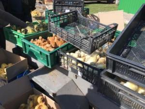 На вихідні на ринках Тернополя ажіотаж: масово купують каченят і курчат
