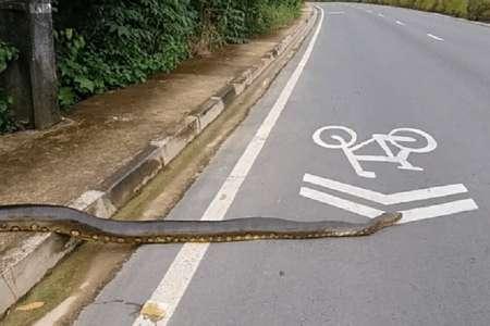 В Бразилии трехметровая анаконда перекрыла дорогу. ВИДЕО