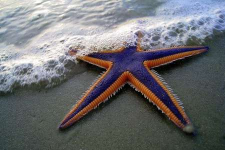 В США сняли на видео ходячую морскую звезду