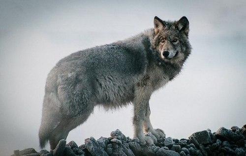 На Тернопільщині чоловік розповів, як боровся із вовком (ВІДЕО)