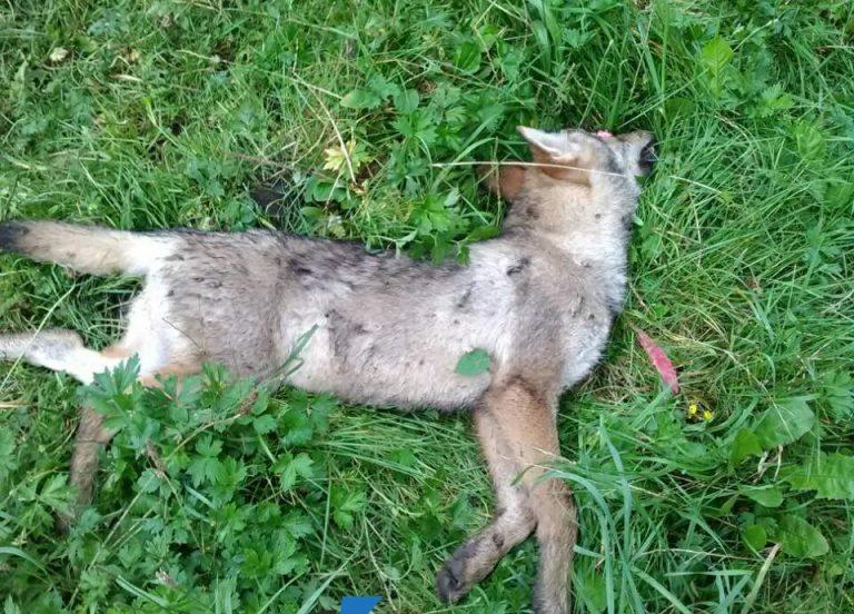 На Тернопільщині у вовка виявили сказ. Визначили неблагополучні та загрозливі села