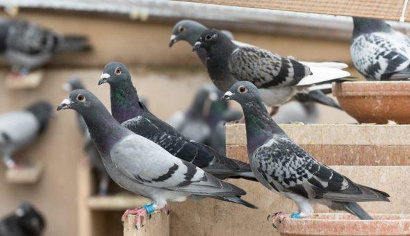 У Тернополі з горища багатоповерхівки вивезли аж два КамАЗи голуб'ячого посліду