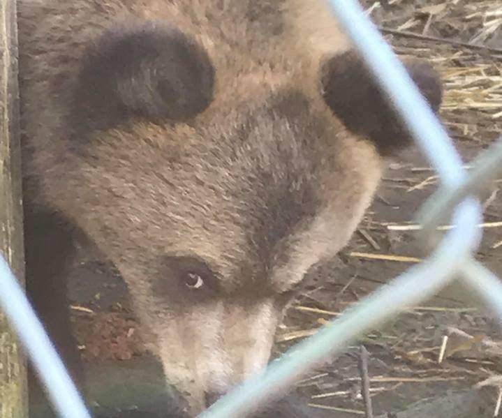 Браконьєри у Карпатах вбили ведмедицю. Ведмежа дивом врятувалося (ФОТО)