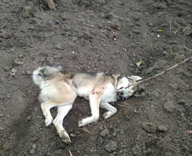 На Тернопільщині вовк забіг на подвір'я та напав на господаря (ФОТО)