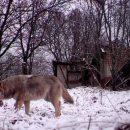 Хижаки знову полюють: за дві години хвора вовчиця покусала 18 собак із двох сіл та напала на чоловіка