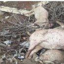 На Тернопільщині туші мертвих свиней гниють під відкритим небом