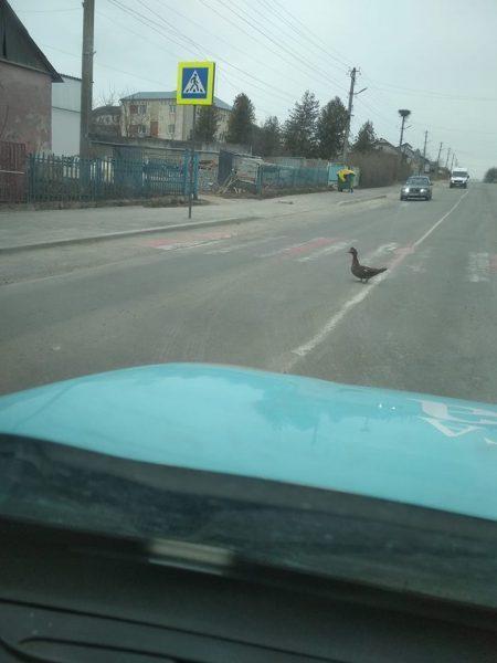Курйоз на Тернопільщині: качки переходять дорогу на пішохідному переході (ВІДЕО)