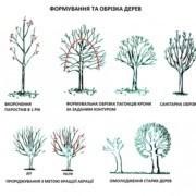 Дерева не нищать, а рятують: у державній екоінспекції пояснили необхідність санітарної обрізки