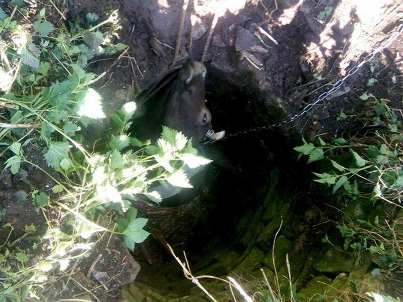 На Тернопільщині корова впала у колодязь (ФОТО)