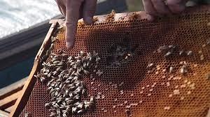 На Тернопільщині знову гинуть бджоли