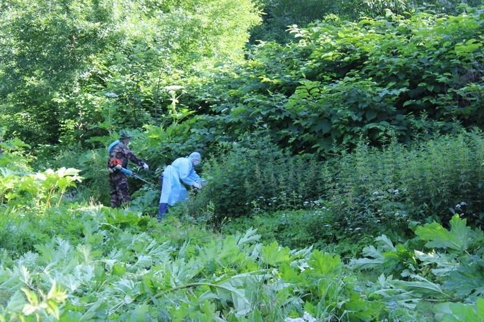 """""""Роз'їдає шкіру аж до кісток"""": у Тернополі знищують небезпечну рослину"""