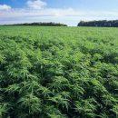На Тернопільщині виявили плантації коноплі