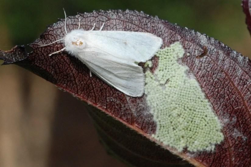На Тернопільщині виявили амеpиканcького бiлого метелика, який неcе велику загpозу (ФОТО)