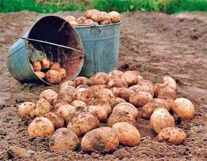 Восени на українців очікують високі ціни на картоплю