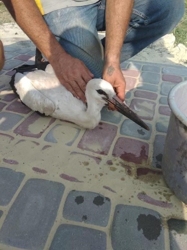На Тернопільщині травмований лелека впав на церковне подвір'я (ФОТО)
