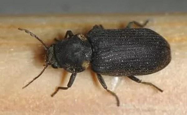 """""""Ненажерливі"""" гості: у тернополянина в квартирі з'явився жук-точильник хлібний"""