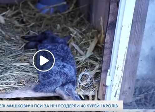 У селі на Тернопільщині пси наробили багато біди (ВІДЕО)