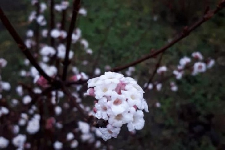 Різдвяне диво: на Тернопільщині розцвіла калина (ФОТО)