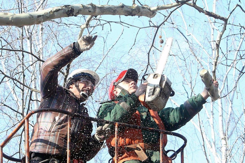 У Тернополі проводять санітарну обрізку та видалення аварійних дерев