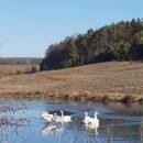 На Тернопільщині оселилася сім'я лебедів (ФОТО)