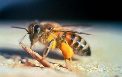 """На Тернопільщині бджоли """"вбили"""" чоловіка"""