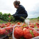 Урожай полуниць гине в Естонії без заробітчан, зокрема українців: самі естонці в поле йдуть неохоче
