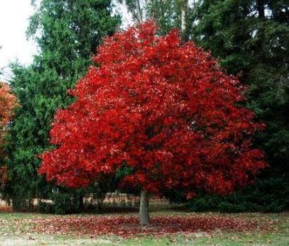 На Тернопільщині через директора зрубали майже тридцять дерев породи червоний дуб