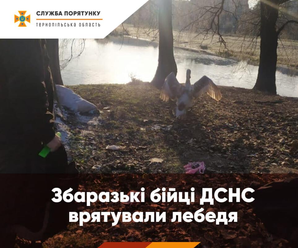 На Тернопільщині врятували лебедя, який заплутався у сітку (ФОТО)