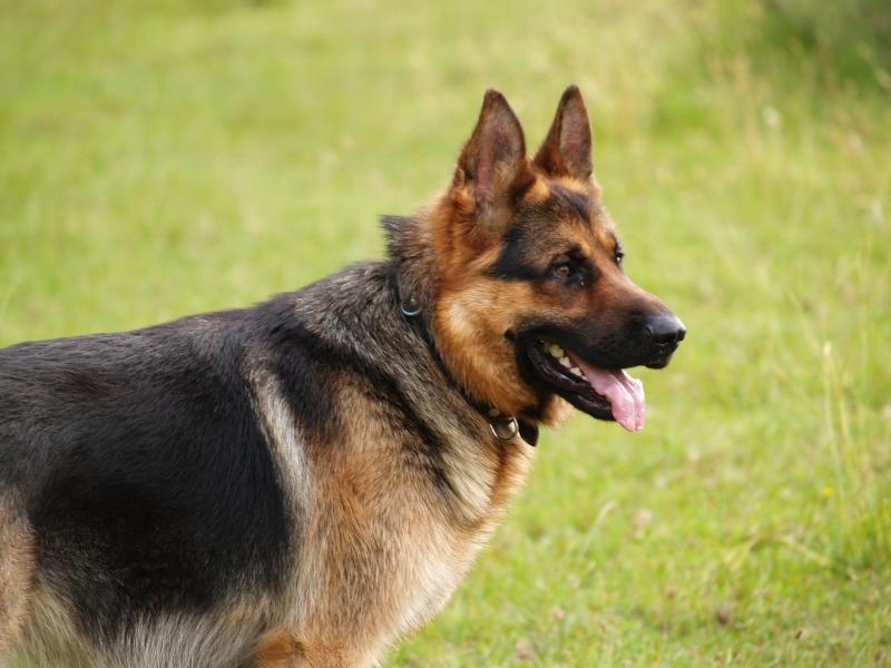 На Тернопільщині пес напав на жінку і на смерть загриз її пекінеса