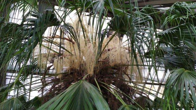"""""""Привезли на возі у 1834 році"""": у знаменитому ботсаду зацвіла 200-річна пальма з Тернопільщини (ФОТО)"""