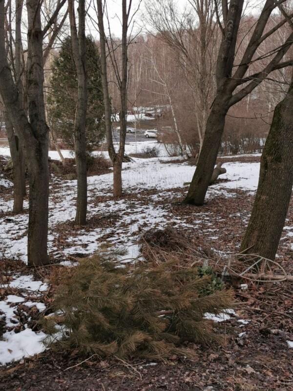 Де совість? У Тернополі в парку масово повикидали новорічні ялинки (ФОТО)