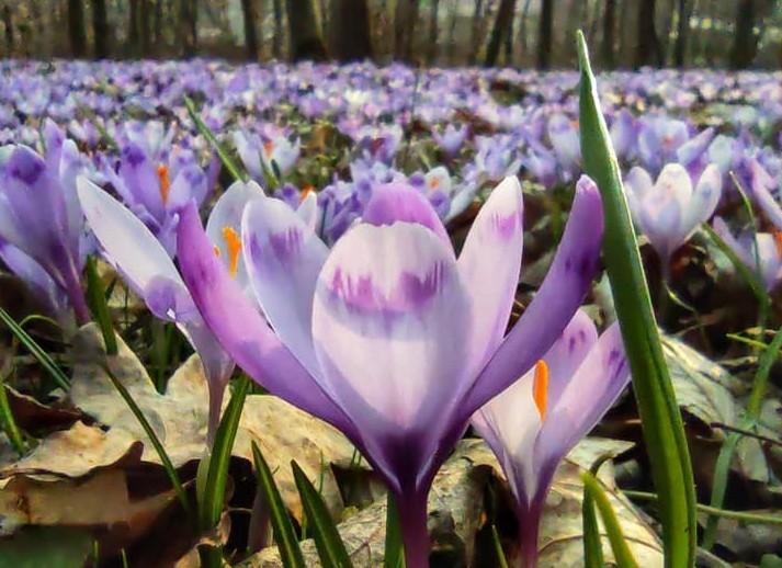 """""""Наче у казці"""": дуже багато крокусів можна побачити у лісі на Тернопільщині (ФОТО)"""