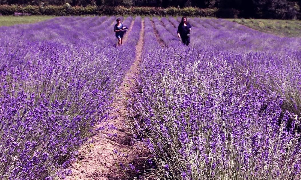 На Тернопільщині висадять лавандове поле