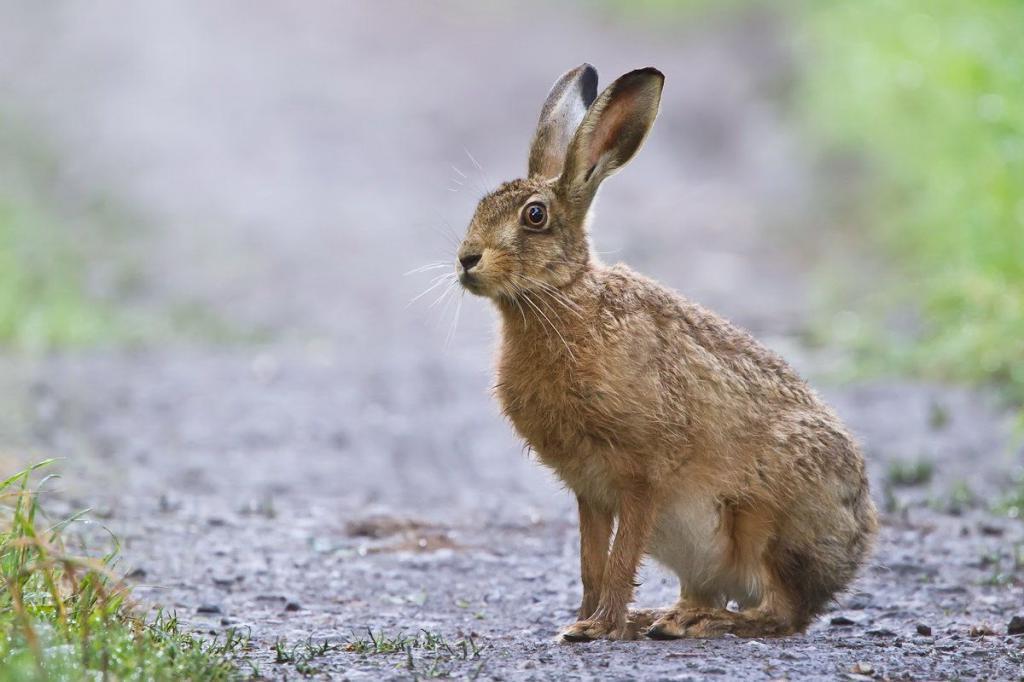 Водій, який збив зайця на Тернопільщині, заплатить штраф