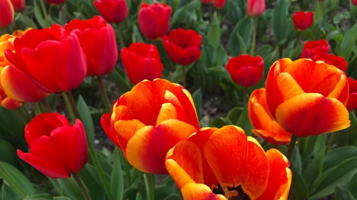 """""""А в мене своя Голландія"""": на Тернопільщині жінка виростила плантацію тюльпанів біля дому (ФОТО)"""