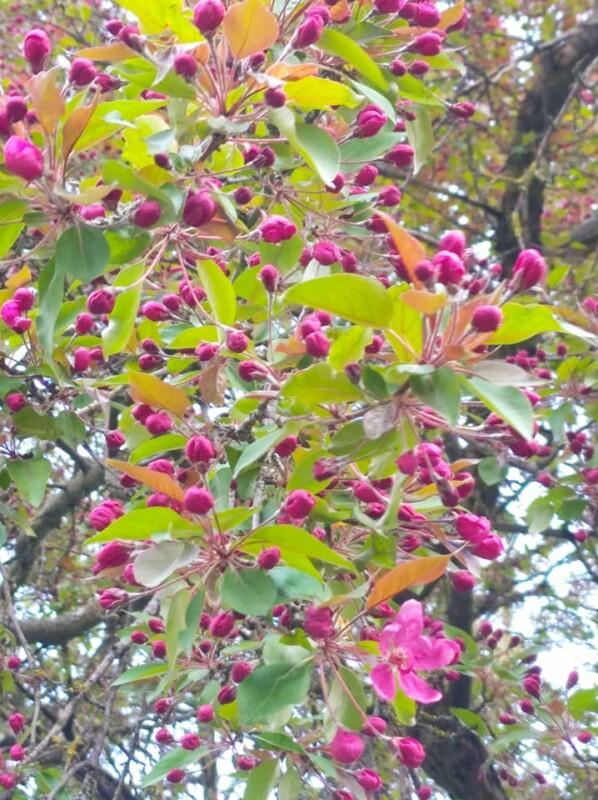 """""""Не має собі рівних ця краса"""": на Тернопільщині зацвіла рідкісна яблуня із листям незвичайного кольору (Фото)"""