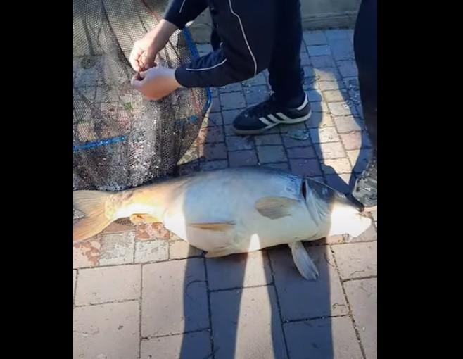 У Тернополі на ставі рибалки спіймали велитенсього дзеркального коропа (ВІДЕО)