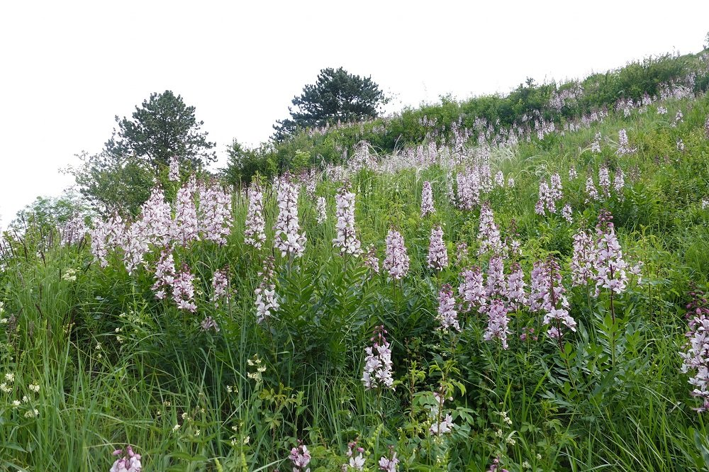 Неймовірна краса: у заповіднику на Тернопільщині розцвіла дуже рідкісна рослина (ФОТО)