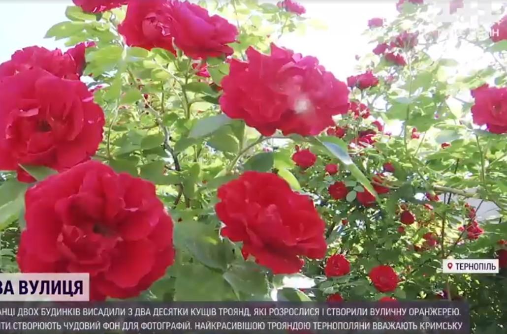 """""""Оце краса"""": у Тернополі люди зі спільного подвір'я зробили трояндову алею (ВІДЕО)"""