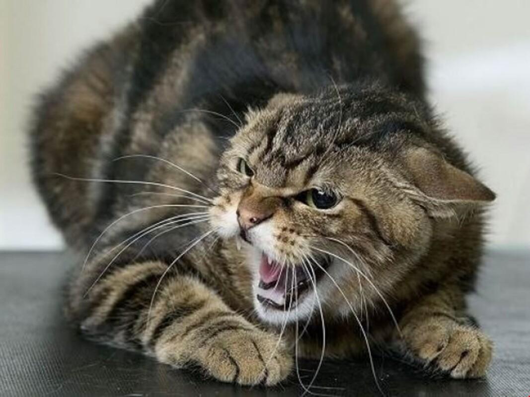 На Тернопільщині оскаженілий кіт влаштував полювання на людей