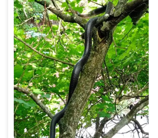 Відпочивальник неподалік Джуринського водоспаду натрапив на двометрову змію (ФОТО)