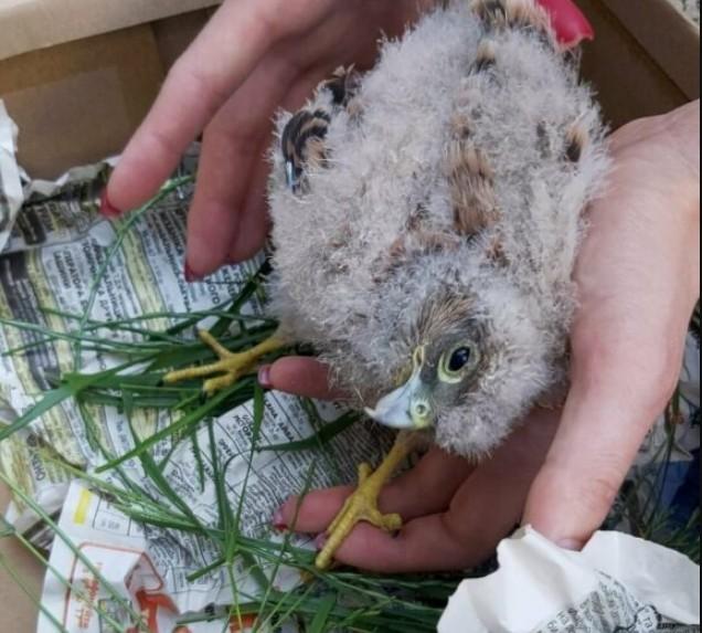 У Тернополі врятували дитинча дуже рідкісного птаха (ФОТО)